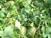 Una maduración más óptima y frutos con mejores propiedades con YaraVita Star K