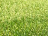 Proyecto nacional contra Echinochloa spp y Leptochloa spp, las dos malas hierbas más nocivas para los arrozales