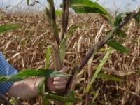 ANOVE y el CITA colaboran para controlar el teosinte en el maíz