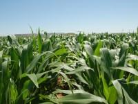 Fertilización nitrogenada en maíz con las nuevas variedades híbridas altamente productivas