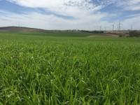 Pasto Siambasa, un forraje de origen tailandés con futuro en España