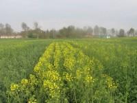 Los piensos basados en colza reducen los gases efecto invernadero