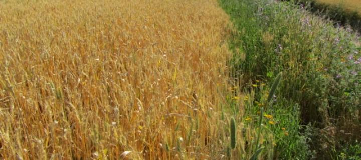 Abundancia y diversidad de plantas y abejas en márgenes de campos cerealistas de Andalucía