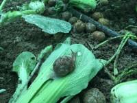 Granjas de caracoles para recetas de quinta gama
