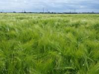 Avanza la implantación del cultivo de cebada híbrida en Europa