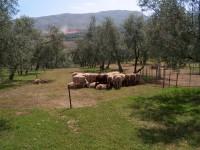 La UJA estudia cómo mejorar el suelo del olivar por mal uso de herbicidas y de la gestión de las cubiertas vegetales