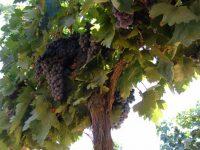 Estrategia de riego y el aclareo de racimos para mejorar la calidad del vino Tempranillo