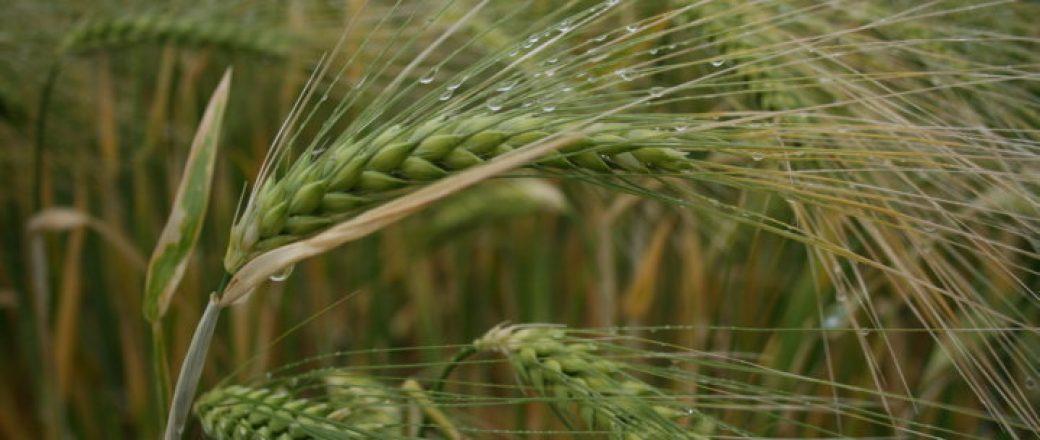 Panorama varietal de la cebada para siembras de otoño