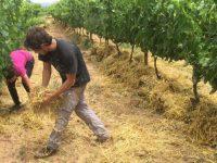 El acolchado de paja reduce en un 78% el nivel de erosión en suelos de viñedo