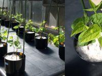 Investigadores de la UAM diseñan fertilizantes de micronutrientes más eficaces y sostenibles
