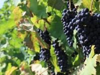 Los viñedos de la mitad sur peninsular sufrirán más los efectos negativos del cambio climático
