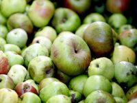 Maeloc amplía su ámbito de investigación para mejorar el rendimiento de la manzana en Galicia
