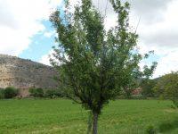 El CITA trabaja en la recuperación de frutales autóctonos en Teruel y su puesta en valor