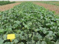 El CITA trata de recuperar el melón aragonés de Torres de Berrellén