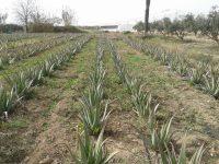 La Región de Murcia estudia la viabilidad del cultivo de Aloe Vera en el Campo de Cartagena