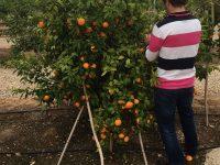 Crean la primera app que identifica plantaciones irregulares de una variedad protegida de cítricos