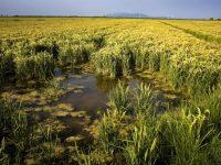 La producción de arroz del Delta del Ebro podría disminuir un 10% a finales de siglo
