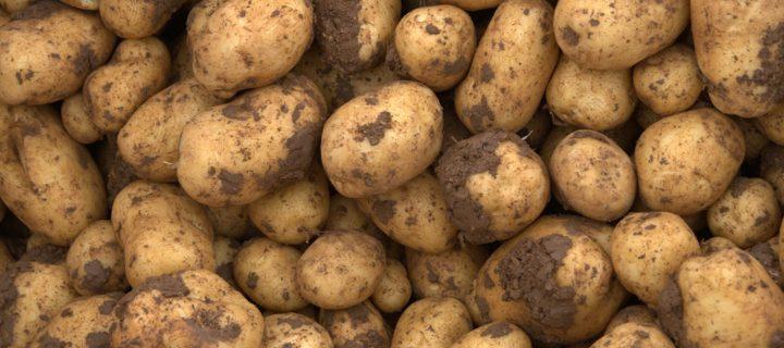 Gestión integrada de plagas en el cultivo de la patata