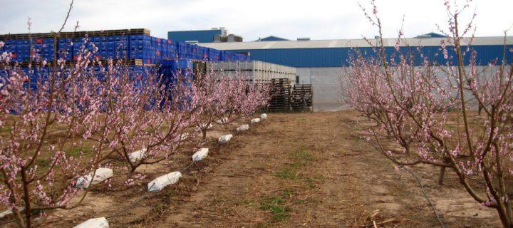 El sistema Fruitponic consigue una reducción de riego del 30% en caquis, nectarinas y cítricos
