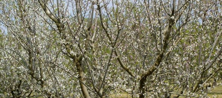 El CITA da a conocer sus últimas variedades de almendro