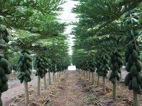 Tecnova trabaja en un proyecto de cultivo de papaya bajo invernadero