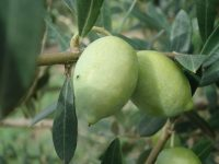 El IRTA conserva más de 50 variedades de olivo de origen catalán
