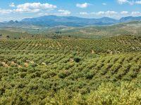 Nace AlcuzApp, una app para agricultores que les permite controlar el olivar con el móvil