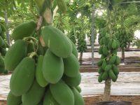 Nace en Almería el primer modelo del mundo para producir papaya en invernadero
