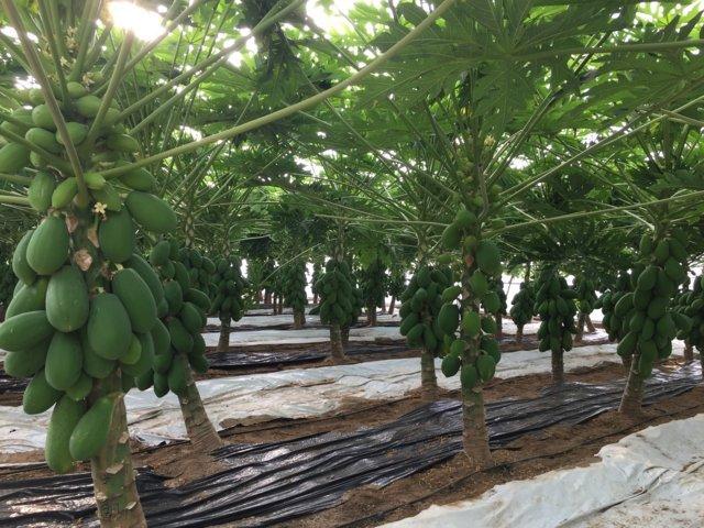 El primer modelo del mundo para producir papaya en for Viveros en colombia