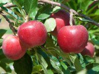 El IRTA Mas Badia reduce el gasto de agua en el cultivo de manzana de Girona con un sistema de riego basado en el Internet de las cosas