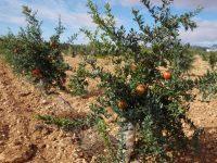 Murcia estudia las variedades de granado que mejor se adaptan al noroeste de la región