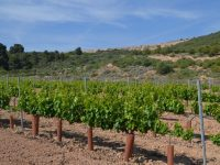 El sector vitivinícola investiga cómo mejorar el cultivo de la vid frente al cambio climático con nuevas tecnologías y técnicas innovadoras