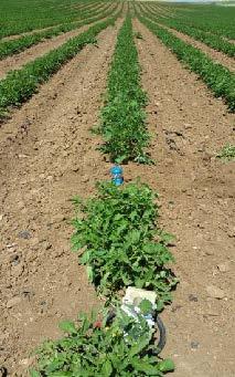 El uso de tecnologías como las sondas son fundamentales en estos cultivos.