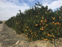 Citroplant, soluciones de vanguardia para los cítricos españoles
