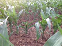 Nuevos retos en el control de las enfermedades virales del maíz