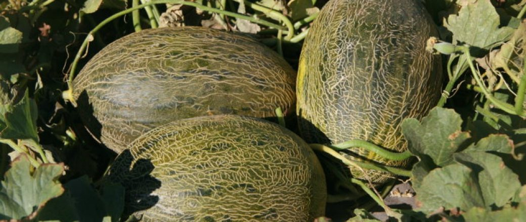 Syngenta lanza al mercado Airen, una nueva variedad de melón piel de sapo
