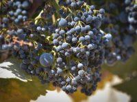 Bodegas Torres experimenta con variedades ancestrales de gran interés enológico