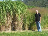 El miscanto, el mejor cultivo herbáceo para producir energía en el noroeste de España
