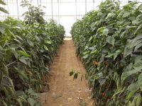 Principios básicos sobre quimigación en cultivos hortícolas bajo invernadero
