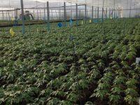 Comparación de los sistemas productivos de la papaya en España y Brasil