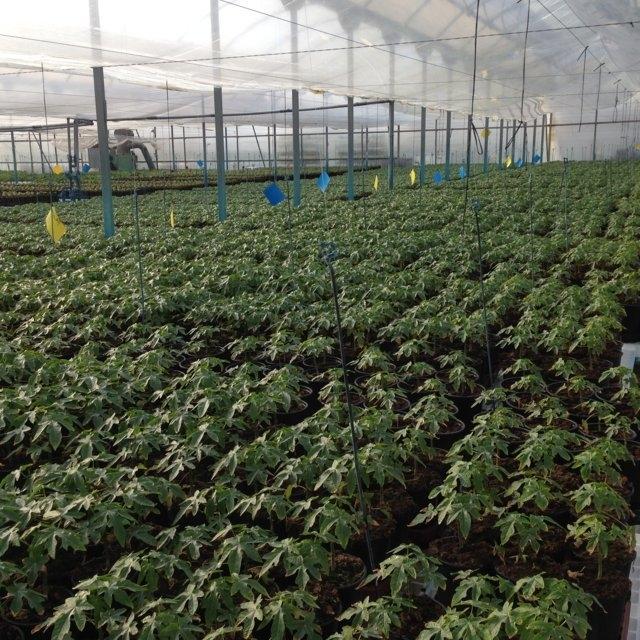 Cultivo de papaya en España   INNOVAGRI