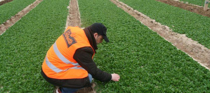 Cultivos protegidos para ensaladas listas para consumir