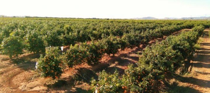 El interés por la variedad de clementina Octubrina crece a nivel mundial