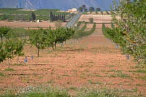 Frusemur trabaja con unas 10 ó 12 variedades distintas en las aproximadamente 7.000 ha de almendro de sus agricultores.