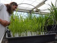 El proyecto Neurice busca nuevas variedades de arroz tolerantes a la salinidad