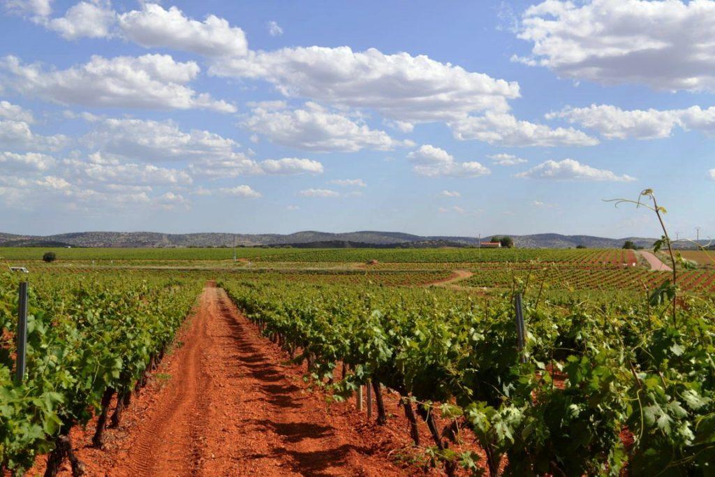 La viña fue una de sus primeras apuestas. Hoy suman 55 ha de ocho variedades distintas, buena muestra de su apuesta por la diversificación.