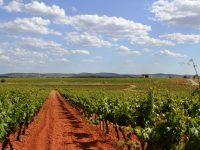 Desarrollan nuevas estrategias de mejora genética en vid para vinificación