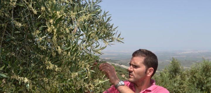 Mucha dedicación y una visión empresarial para la modernización del olivar tradicional