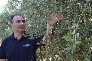 El olivar es el segundo cultivo en superficie -62 ha- y conviven la producción en intensivo y en superintensivo.