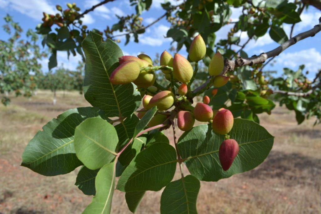 José Luis tenía claro que para optimizar la rentabilidad de la explotación había que apostar por cultivos emergentes como el pistacho, su gran apuesta personal.